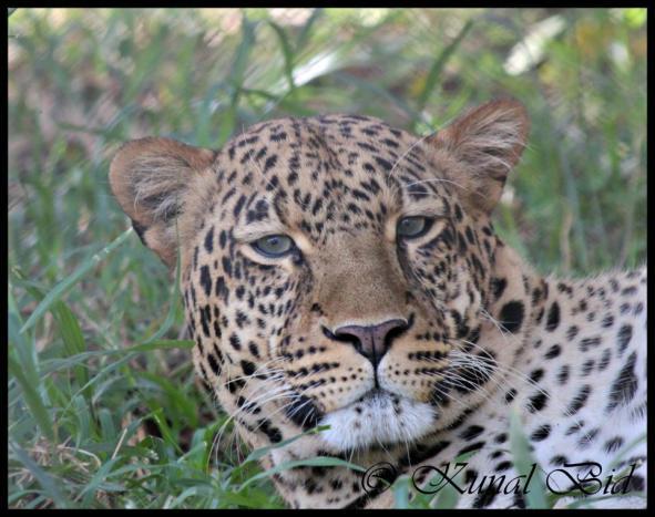 A Leopard's Stare.