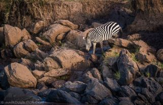A lone Zebra contemplates crossing the mighty Mara River to join up with its herd, but huge rocks and danger stand in the way of its survival.