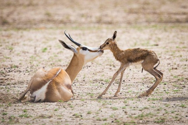A new-born Springbok is shown its new home, the harsh environment of the Kalahari Desert.