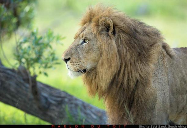 A stunning Selati Male has a look at an approaching buffalo herd