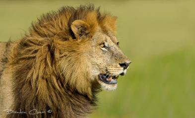 A vivid lion portrait by Brendon Cremer