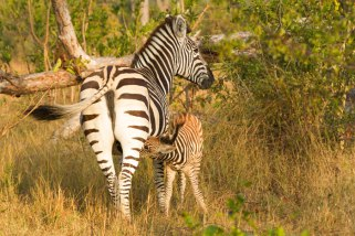 A zebra foal nurses from it's mother
