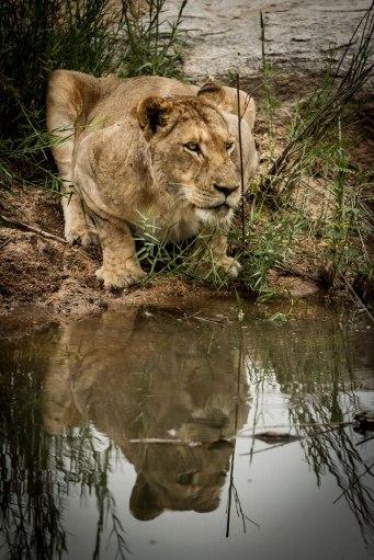 aa Lioness at waterhole