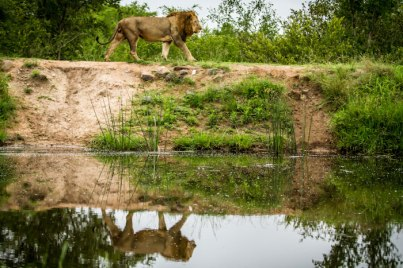 aa Majigilane lion at Umvubu dam