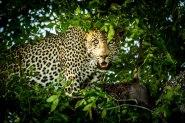 aa Marthly male in Jackal berry tree