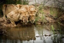 aa Tsalala girls after buffalo kill
