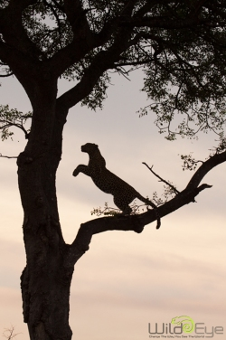 About to spring to the higher branches - photo by Life at Londolozi