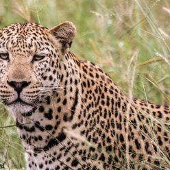 Amatshehlope male leopard near Phinda boundary