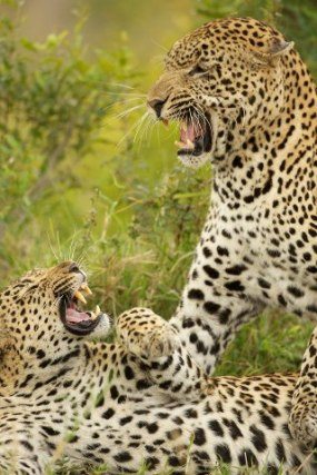 An extraordinary encounter at Singita Sabi Sands