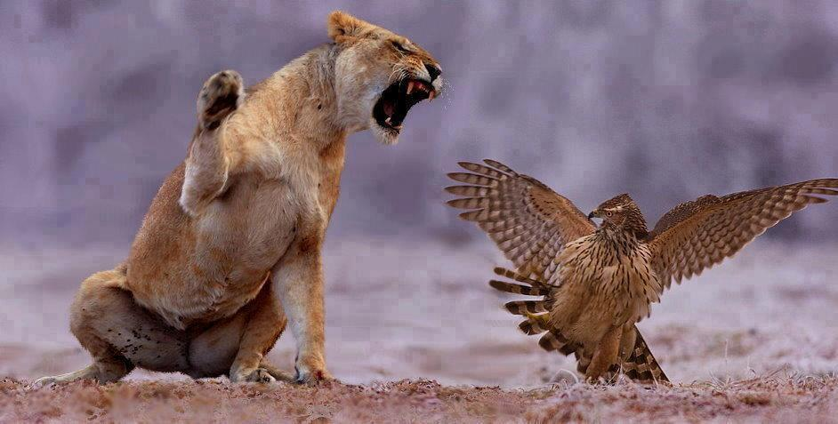 angry lioness - photo #21