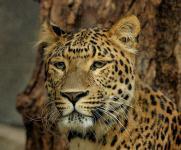 Asian leopard (Panthera pardus) @ Kanha National Park, India