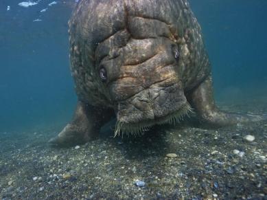 Atlantic Walrus by Paul Nicklen