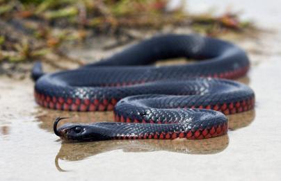 Australian Red-Bellied Black Snake - Photo © Matthew Jones