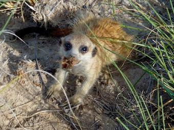 Baby meerkat with scorpion