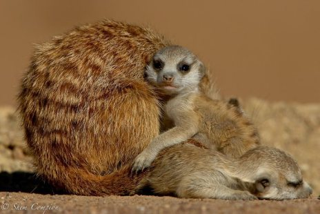 Baby Meerkats by Shem Compion.