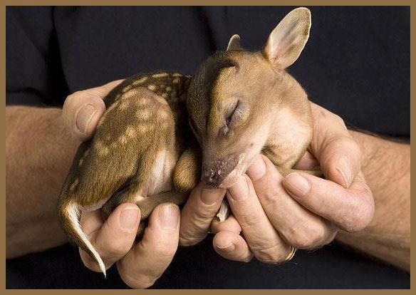 Baby Munjac deer