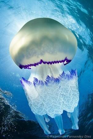 barrel jellyfish