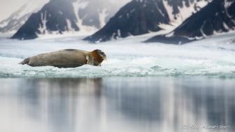 Bearded seal. Copyright © Roy Mangersnes.