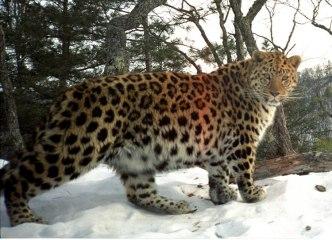 Beautiful Amur leopard