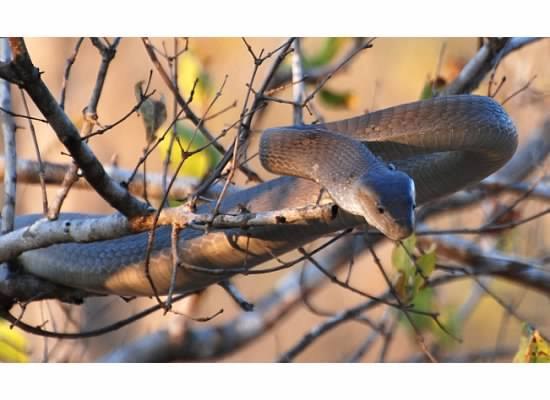 Black Mamba in Kruger - Tom Schmidt