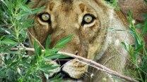 Black Maned Lion in Central Kalahari GR by Carolynne Higgins