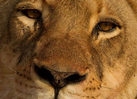blog.tsalala-lioness-face-closeup-AB-Aug-2011