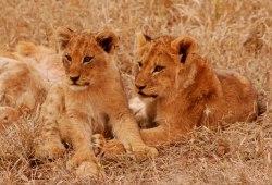 blog.Tsalala-Sisters-cubs-2008-DD
