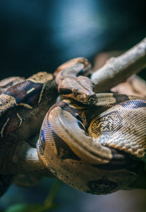 Boa in a tree - Photo by Holly Fretwell