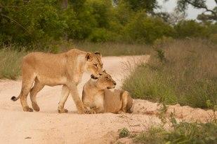 Breakaway lionesses Tsalala