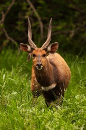 Bushbuck-torn-ear