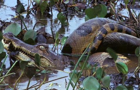 Caiman being eaten by a massive anaconda - Kelly Okavango