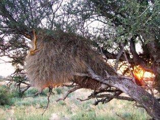 Cape cobra, Naja nivea, tucking into a social weaver bird nest