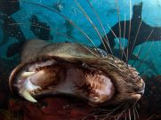 cape-fur-seal-south-africa_62974_990x742