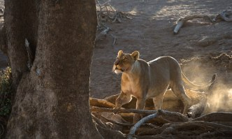 Chasing 2 leopards - Isak Pretorius Wildlife Photography