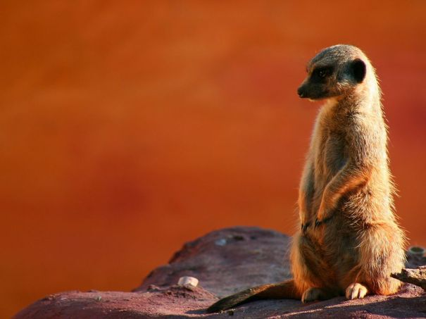 cheeky-meerkat-081609_3625_990x742