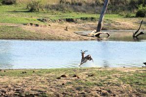 Chitwa Chitwa - fleeing the Dogs