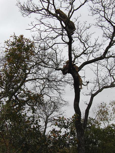 Chitwa Chitwa Mafufanye being chased off kill