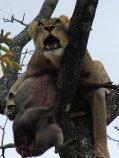 Chitwa Chitwa Styx in tree having chased off leopard