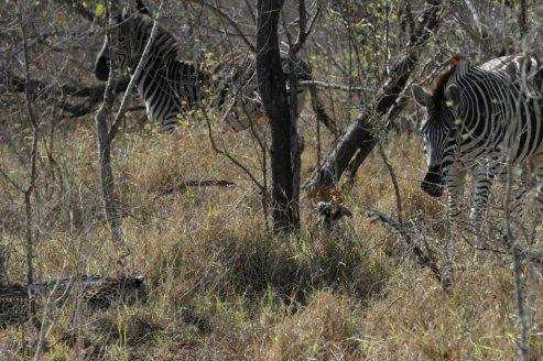 Chitwa Chitwa Zebra and leopard