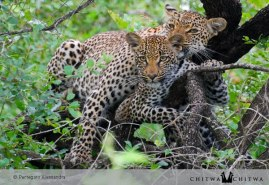 Chitwa leopards