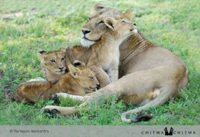 Chitwa Lion family