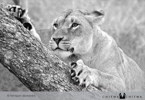 Chitwa lion