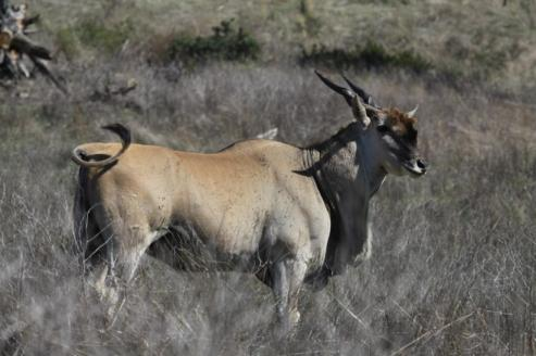 Common Eland Bull