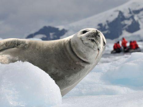 crab-eater-seal-antarctica_47910_990x742