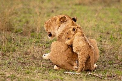 Cub-climbs-on-tailless Mum - 20Sept12 Londolozi