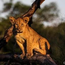 Cub on a stump