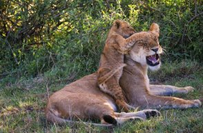 Cub playing with Mum