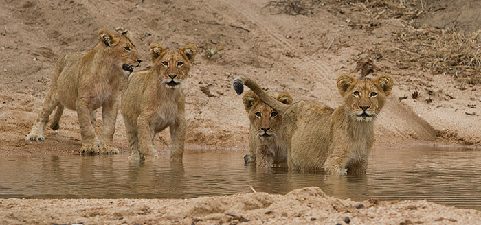 cubs-look-out-onto-sand-river