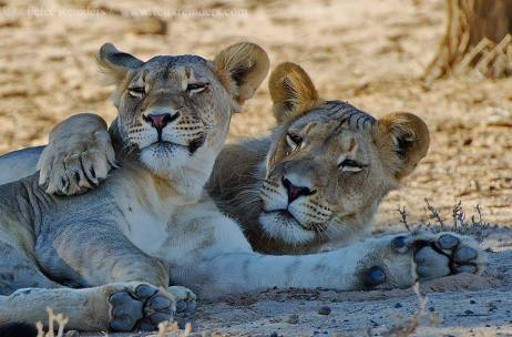 Cuddling lions in the Kalahari, by Felix Reinders.