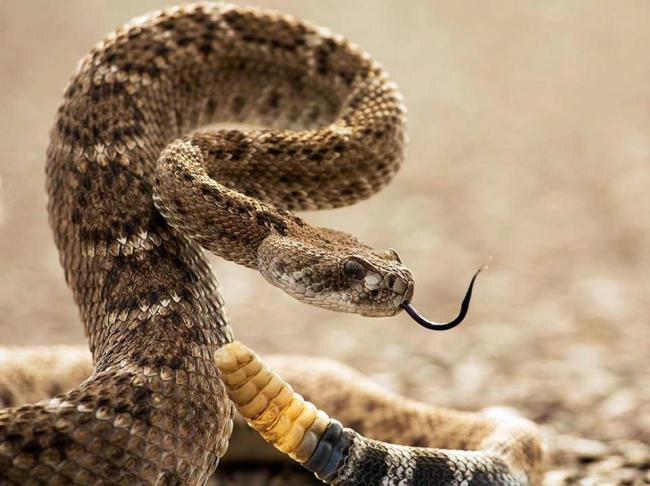 Diamond Backed Rattlesnake